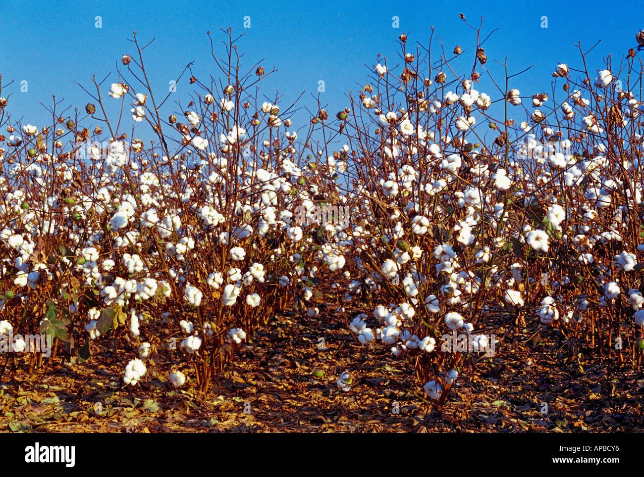 La maturité de récolte weda défoliés prêt Roundup Ready Bt les aliments génétiquement modifiés (GM) gène empilé des plants de coton / de l'Arkansas. Photo Stock