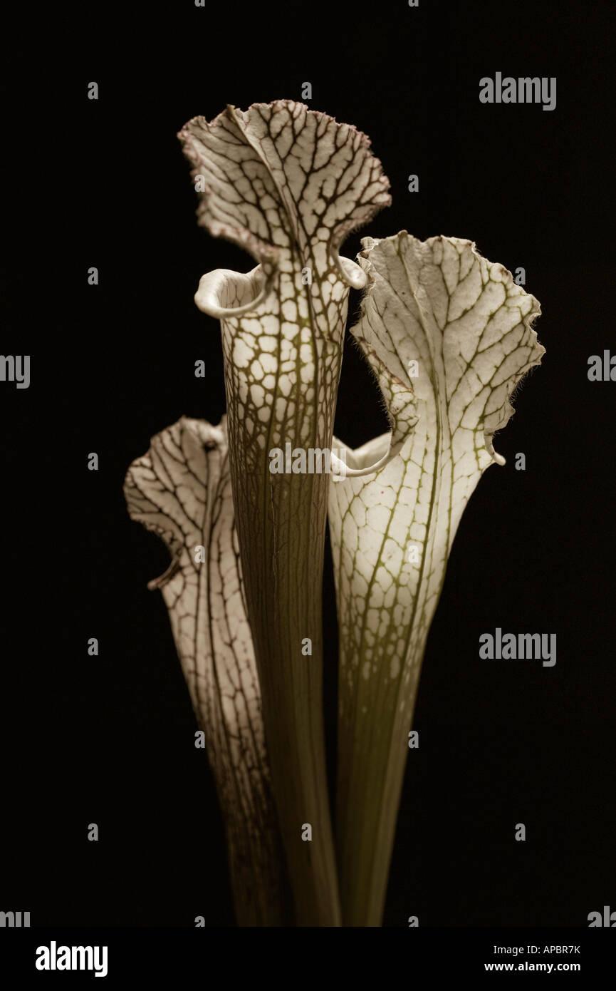 Trois fleurs fly catcher Photo Stock