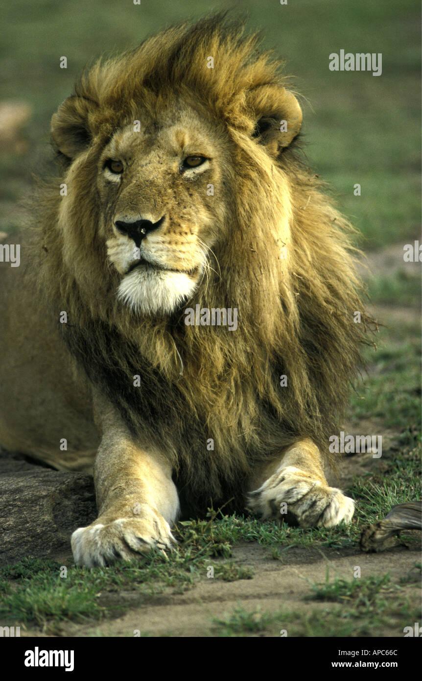 Portrait de la tête et des épaules d'un lion mâle adulte avec une crinière luxuriante Kenya Photo Stock