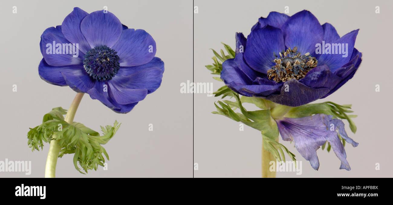 Remplacement de pétale sépale dans le calice d'une anémone coronaria fleur par rapport à Photo Stock