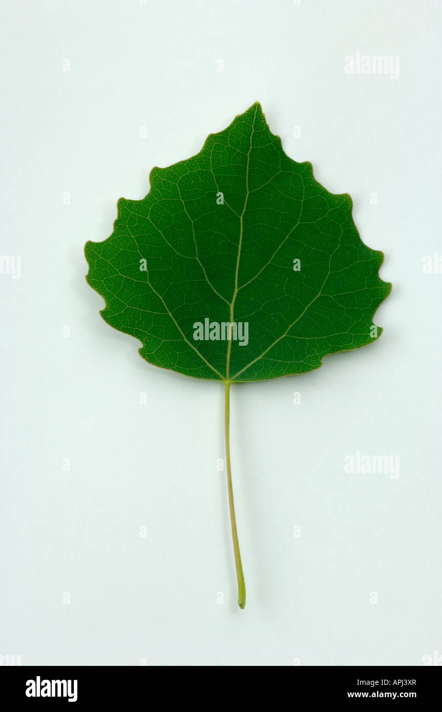 Aspen Populus tremula leaf studio photo Photo Stock