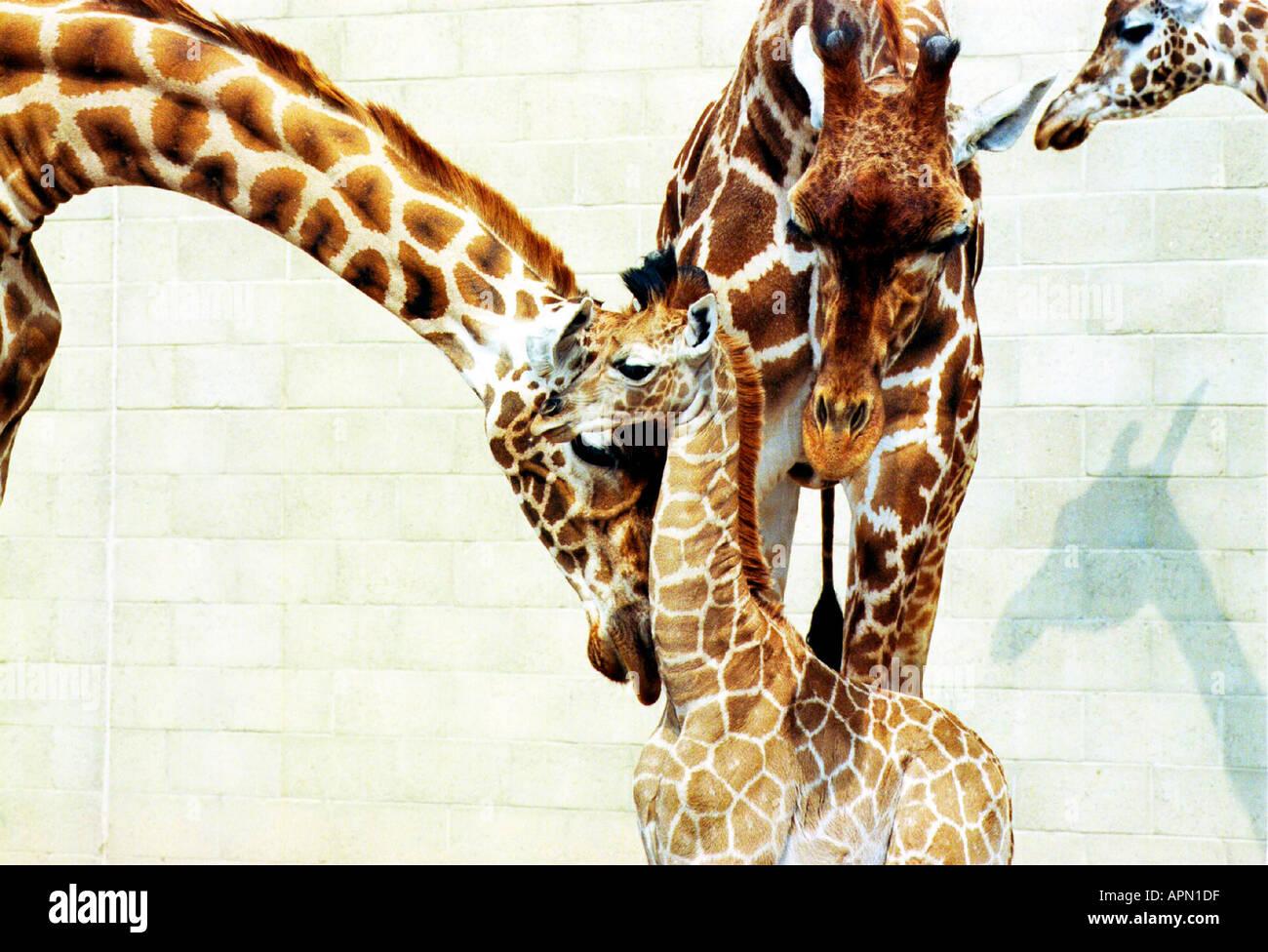 Bébé girafe avec sa famille Photo Stock