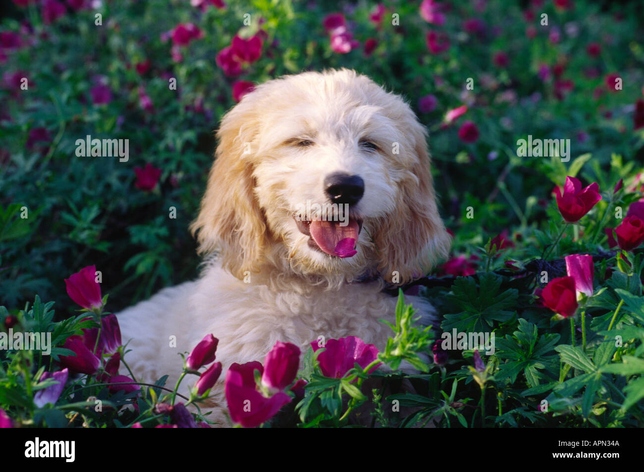 Golden doodle puppy dog eating fleurs Photo Stock