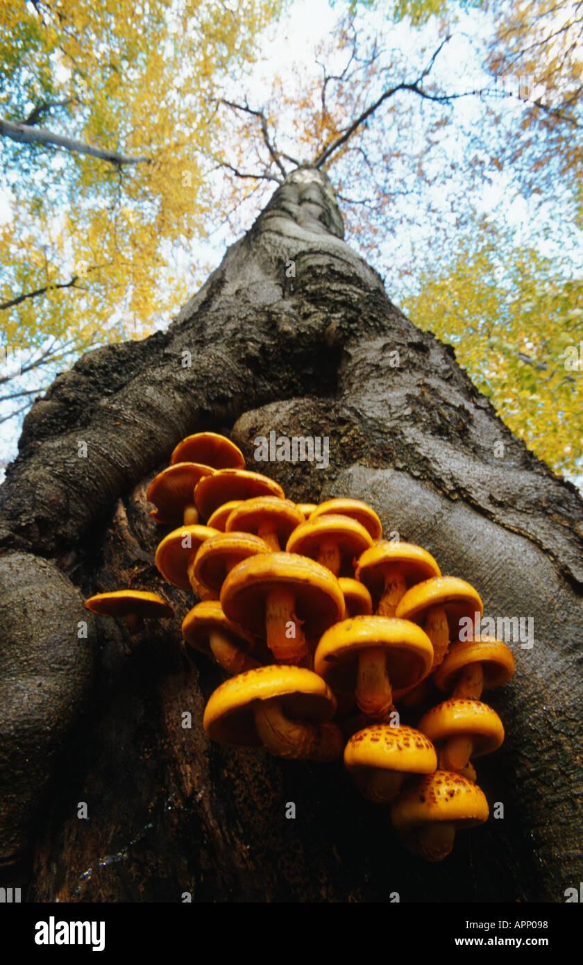 Pholiota aurivella (scalycap d'or, Pholiota cerifera), sur le tronc du hêtre commun, l'Allemagne, Thuringe, Parc national du Hainich Photo Stock