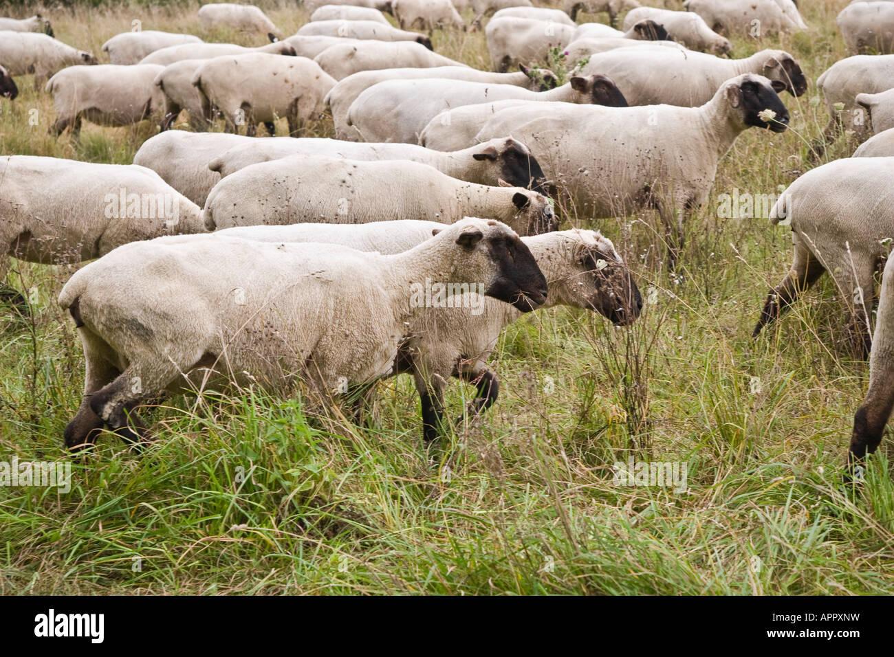 Mouton à tête noire allemande, de viande et de laine de mouton variété / type Photo Stock
