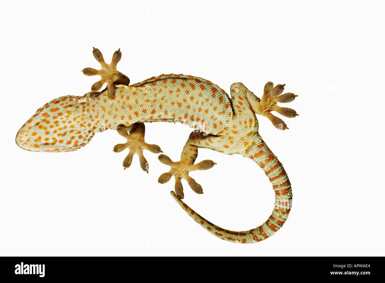 Gecko Tokay Gekko gecko Vue de dessous montrant spécialement adaptés pieds Dist en Asie du sud-est Photo Stock