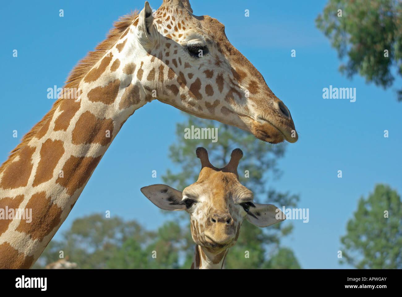 Une mère et bébé girafe ensemble Photo Stock