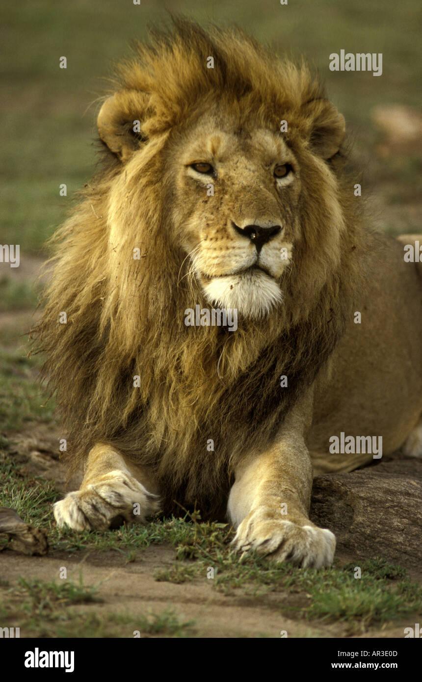 Portrait de la tête et des épaules d'un lion mâle adulte avec une crinière luxuriante très complète Photo Stock