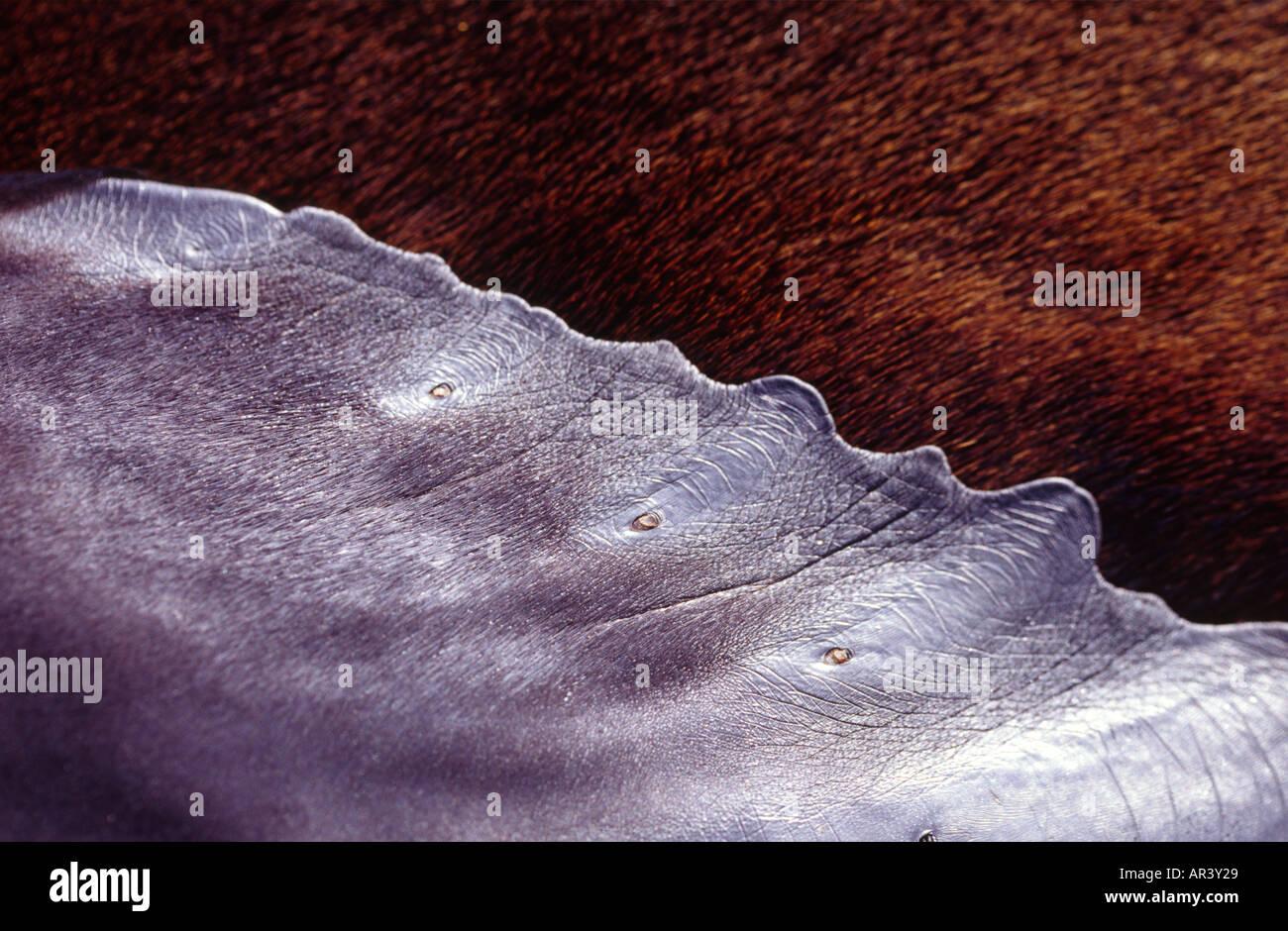 Close up detail de fourrure, archipel des Galapagos, l'Île James Photo Stock
