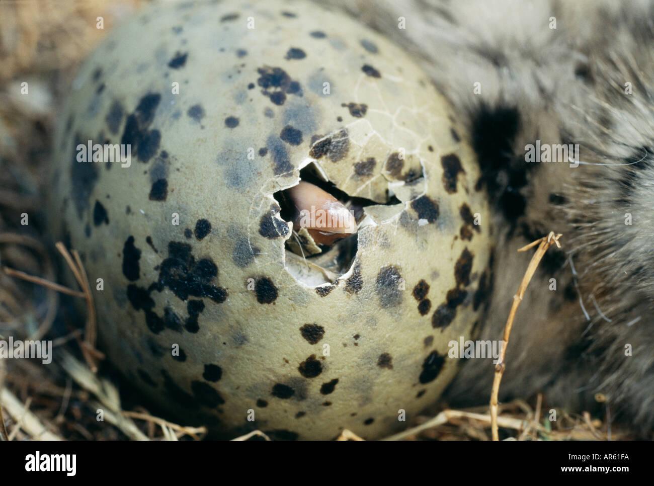 Goéland argenté Larus argentatus chick l'éclosion de l'oeuf l'Ecosse l'été Photo Stock