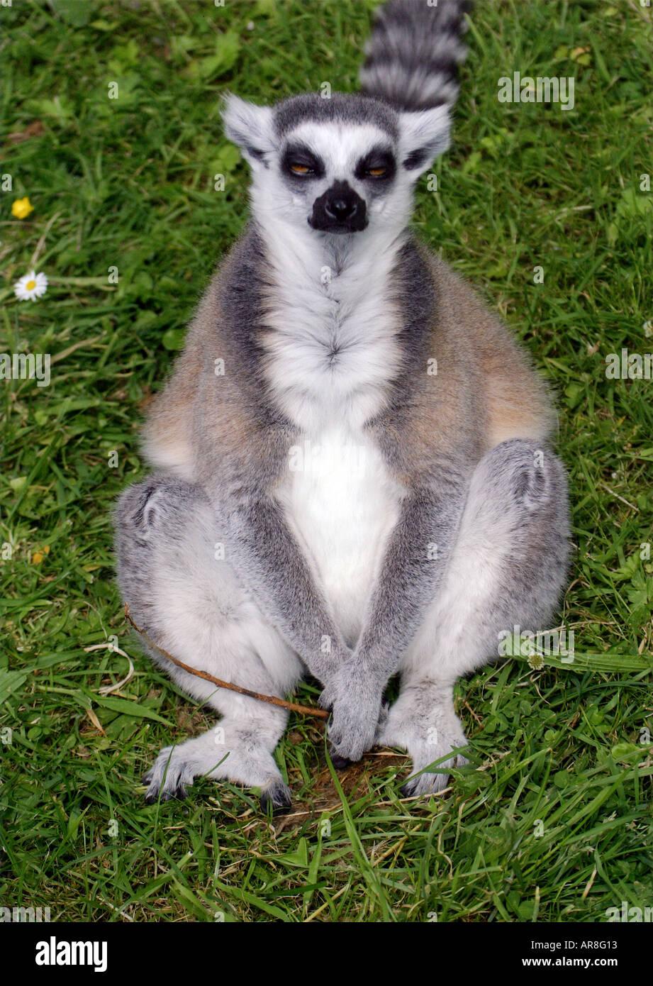 Le gamopat responsable - Page 3 Un-lemurien-ringtailed-est-assis-et-absorbent-l-ar8g13