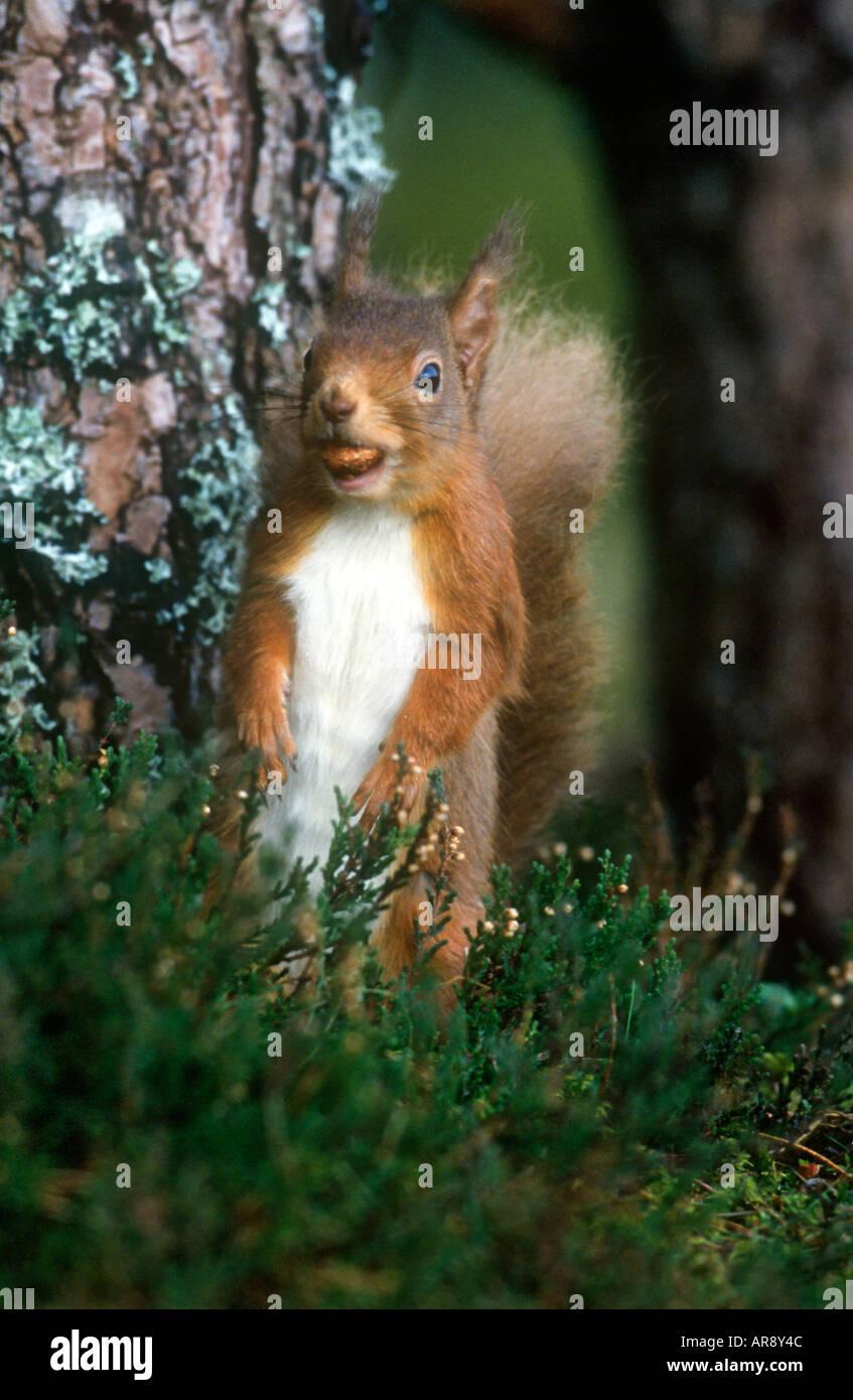 Sqirrel rouge enchanteur assis Photo Stock