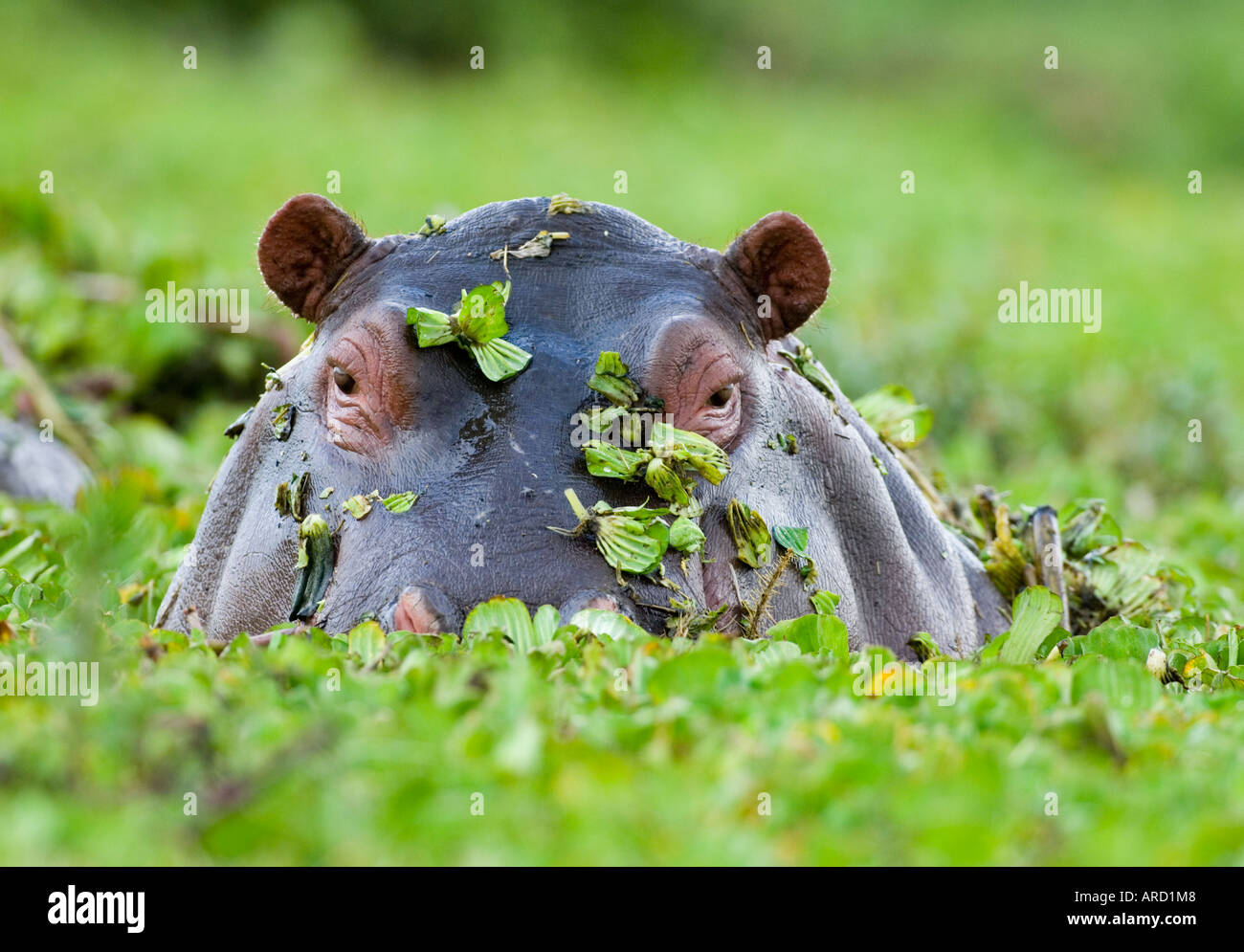Hippopotame sortant d'une piscine couverte de mauvaises herbes Masai Mara, Kenya Photo Stock