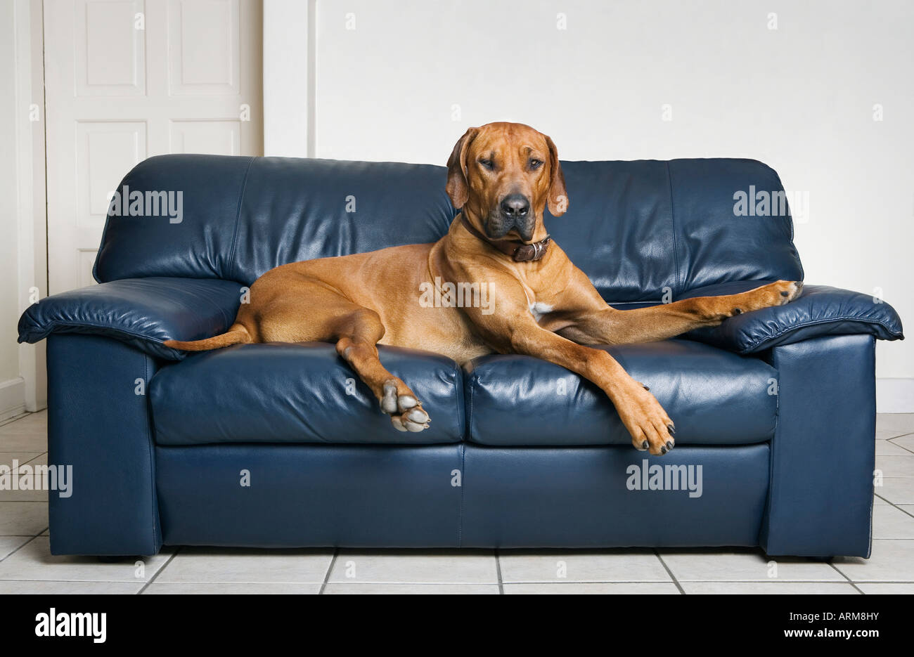 Rhodesian ridge retour dog lying on sofa Photo Stock