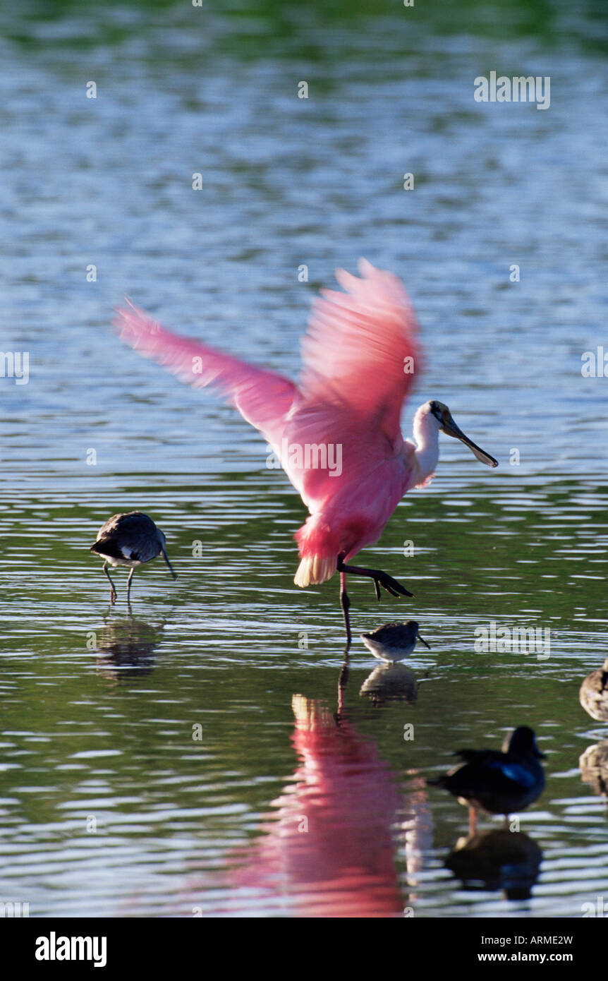 Roseate spoonbill (Ajaia ajaja), J. N. 'Ding' Darling National Wildlife Refuge, Floride, États-Unis Photo Stock