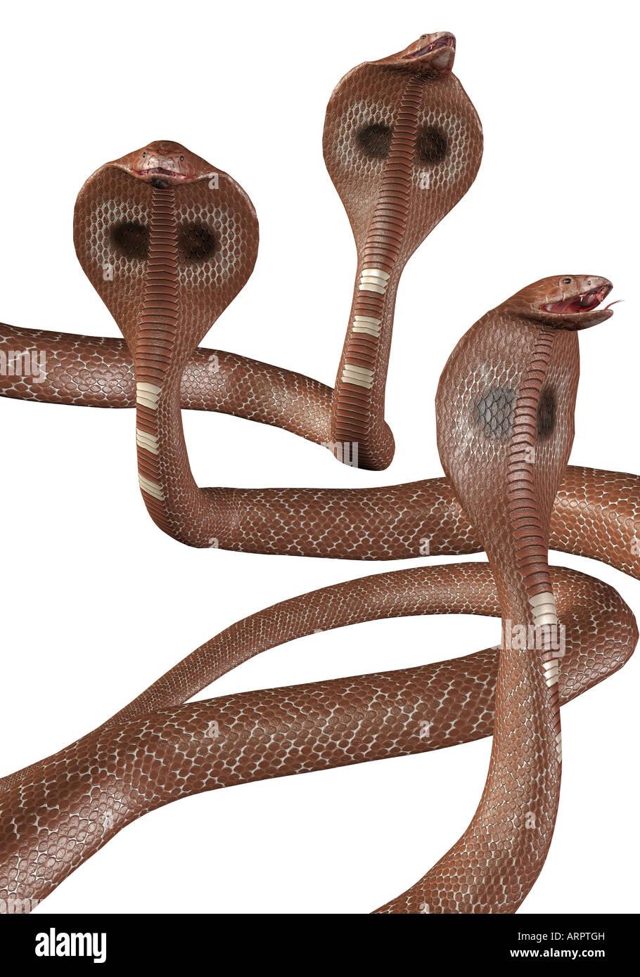 Le rendu. Groupe des serpents Cobra marron sur fond blanc. Photo Stock