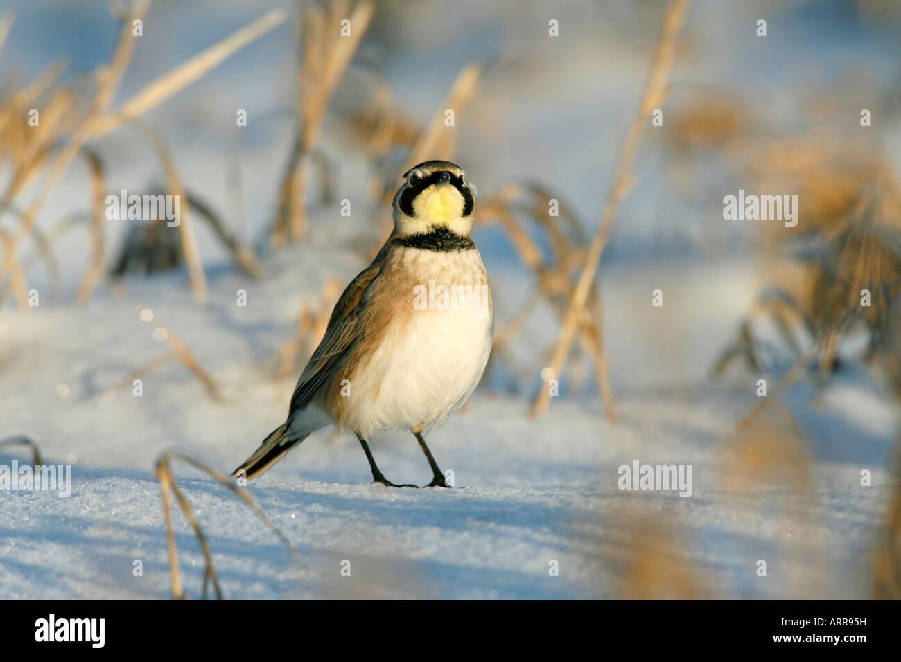 Alouette dans la neige Photo Stock
