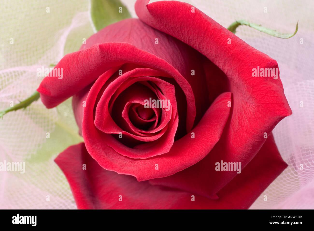 La Rose A Ete Associee Avec La Beaute Et L Amour Depuis Les Temps