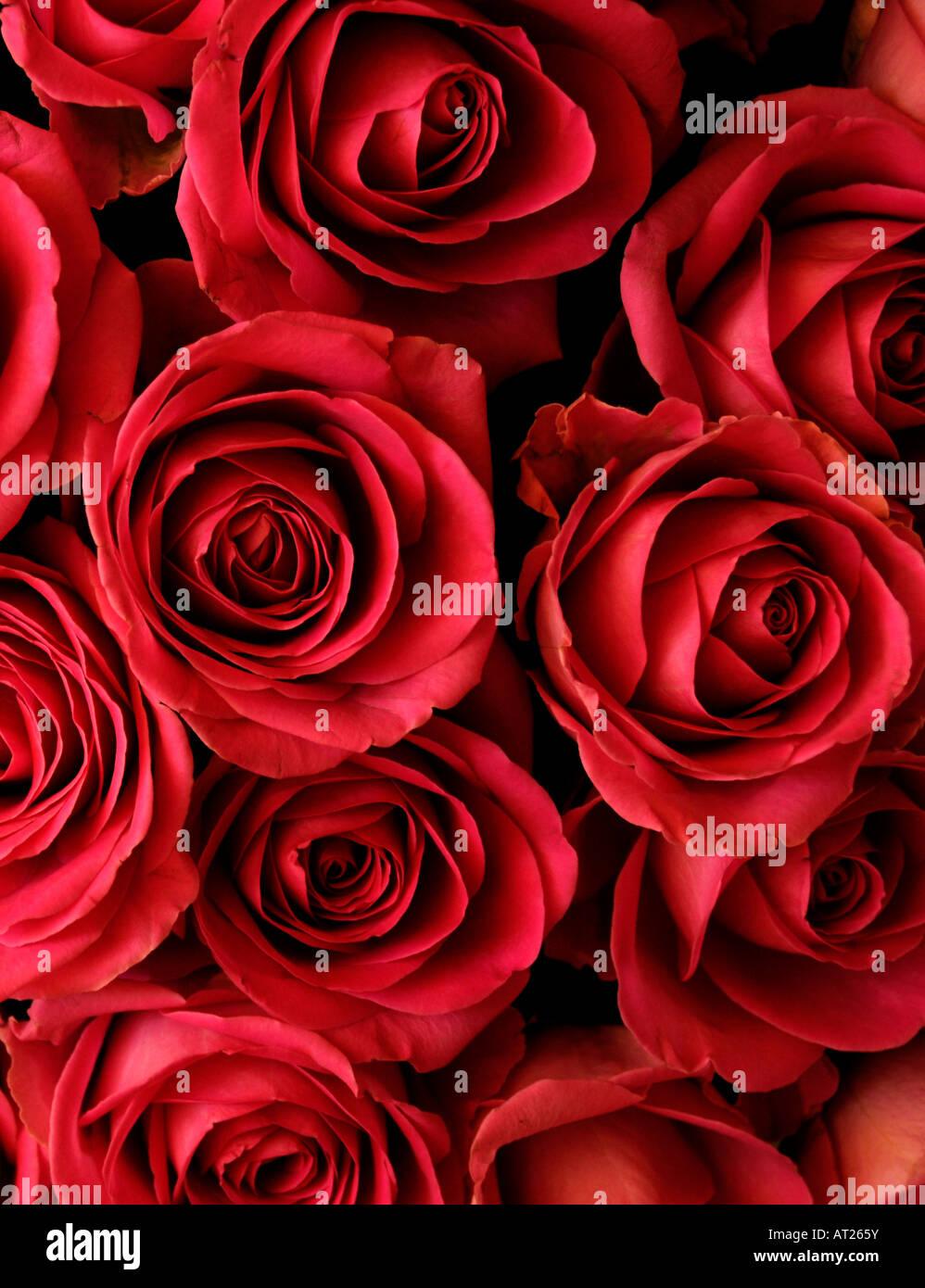 Bouquet de roses rouges Photo Stock