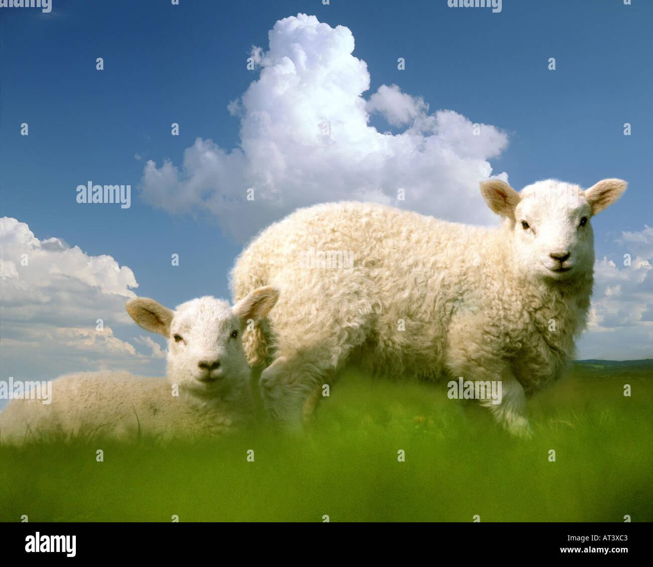 Go - BUCKINGHAMSHIRE: agneaux de Pâques Photo Stock