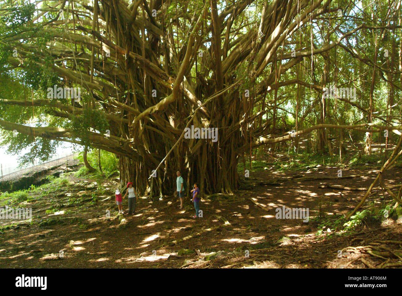 Très grand arbre banyan près de Anuenue falls à Hilo. Nom latin: Ficus benghalensis Banque D'Images