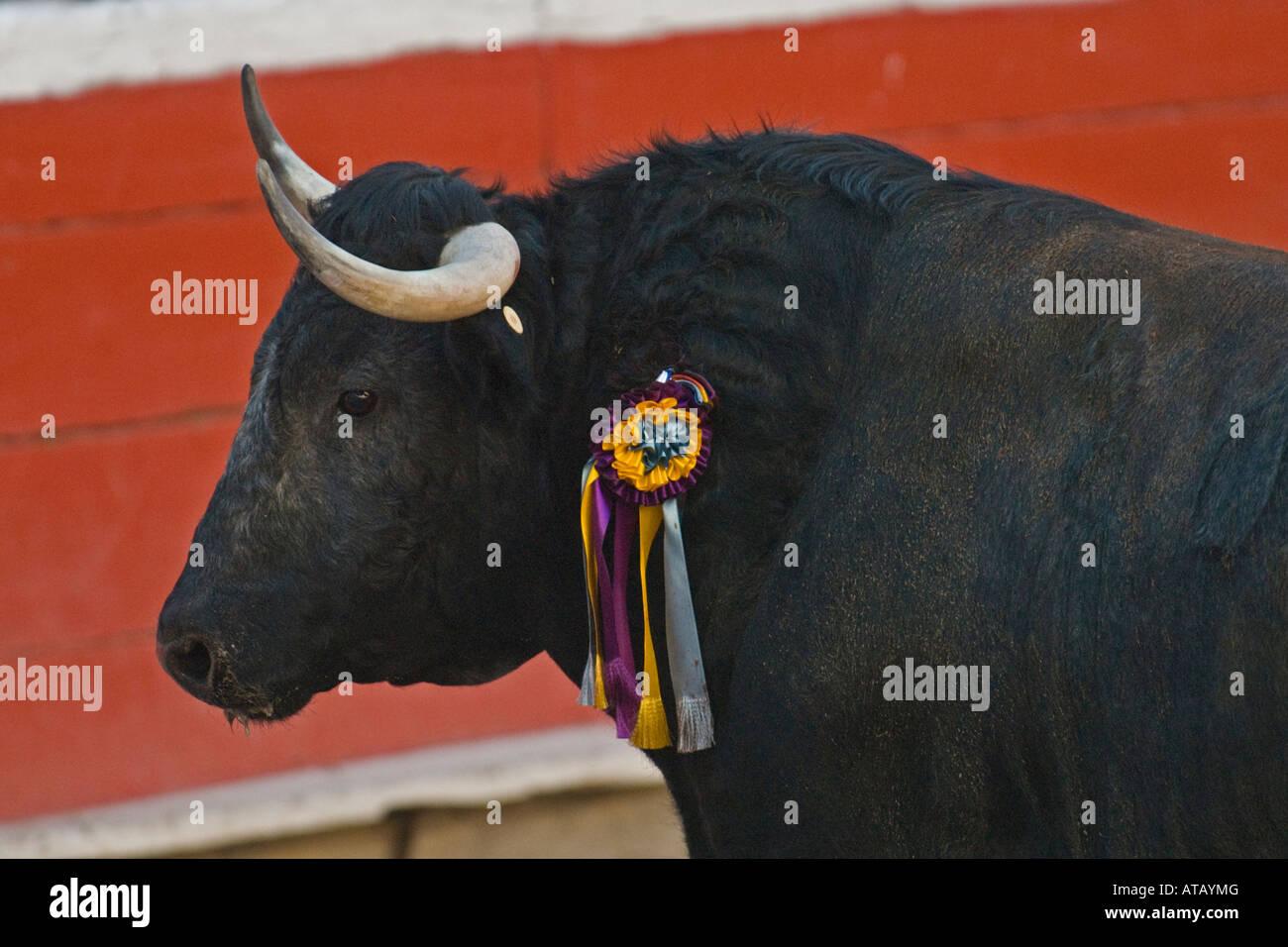 Un taureau marque une pause au cours d'une corrida à Mexicali, Baja California, Mexique Banque D'Images