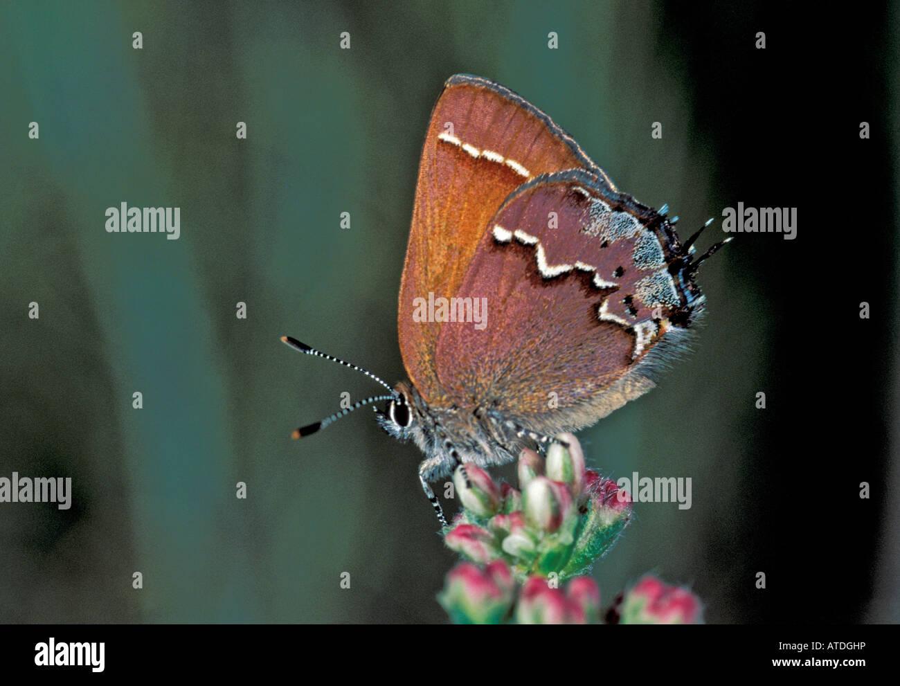 S Porte-queue Nelson Juniper Callophrys gryneus nelsoni California United States Mars Lycaenidae Theclinae Banque D'Images