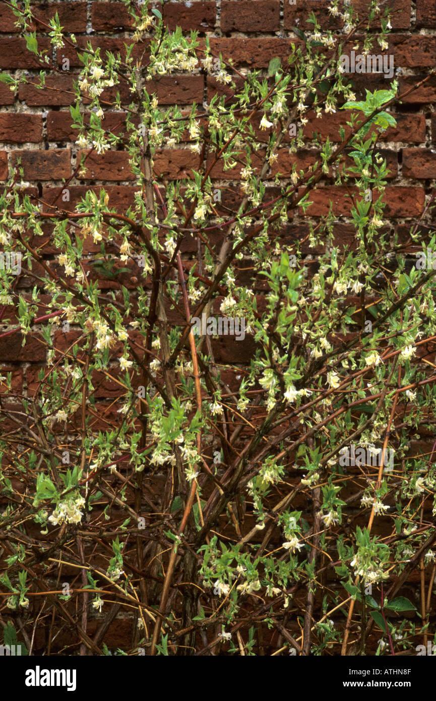 Lonicera fragrantissima, chèvrefeuille, fleurs blanc crème ...