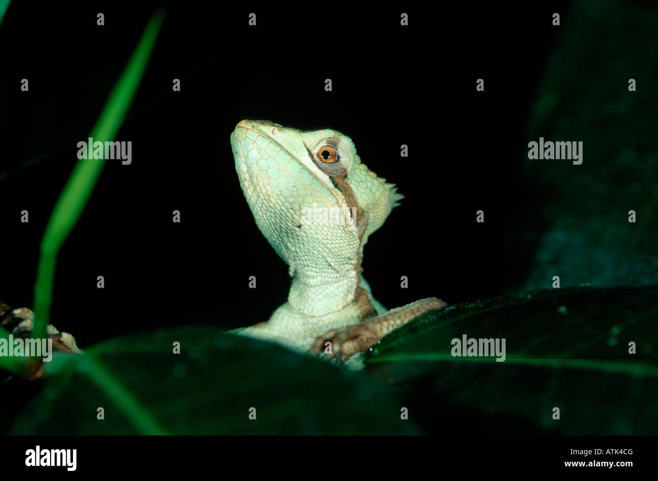 Casque Iguana à tête dentelée Banque D'Images