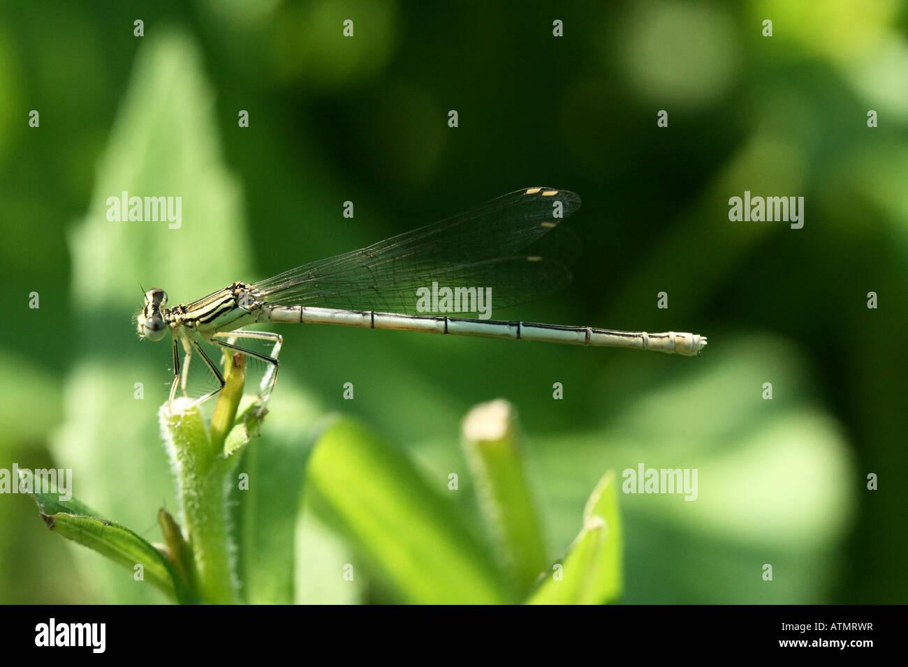 Une femme en tailleur blanc ou Platycnemis pennipes demoiselle repose sur un brin d'herbe près de la rivière Berounka Banque D'Images