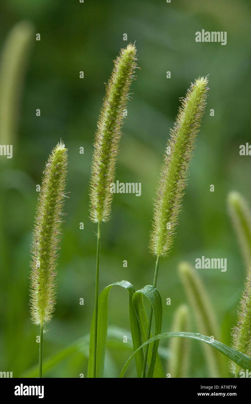 Le millet Foxtail (Setaria italica), close-up Photo Stock
