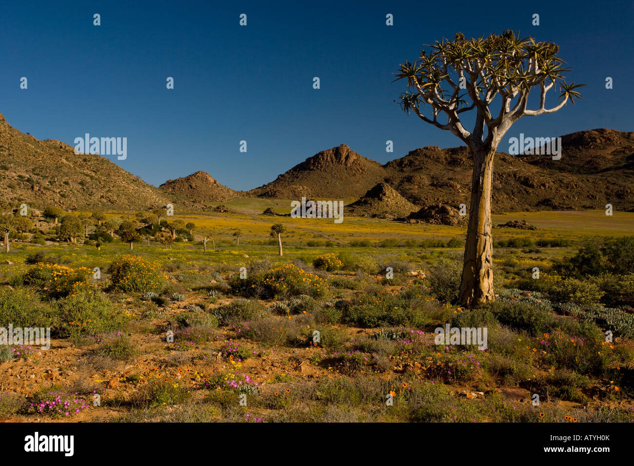 Quiver Tree ou Kokcurboom Aloe dichotoma dans un paysage fleuri Goegap Réserver près de Springbok désert Photo Stock