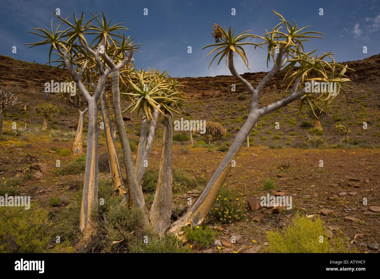 Kokerboom ou Aloe dichotoma Quiver Tree Forest dans un printemps fleuri sur le Nord plateau de Bokkeveld Cape Afrique Photo Stock