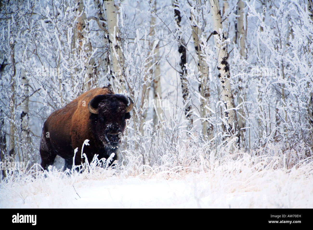 Les bisons dans la neige, le parc national Elk Island, en Alberta, Canada Banque D'Images