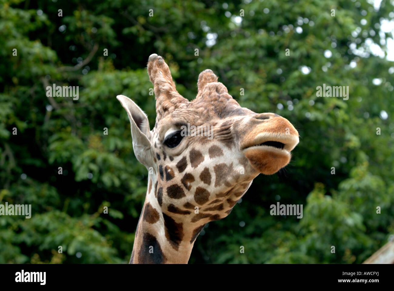 Tête de girafe du zoo des trois quarts à la tête de caméra à lèvres parted feuilles Photo Stock