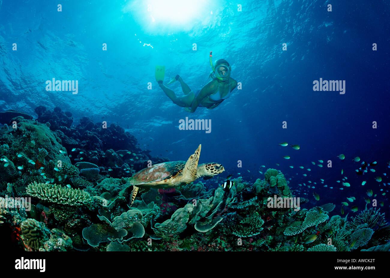 La tortue imbriquée Eretmochelys imbricata plongeur de la peau et de l'Océan Indien Maldives atoll Meemu Banque D'Images
