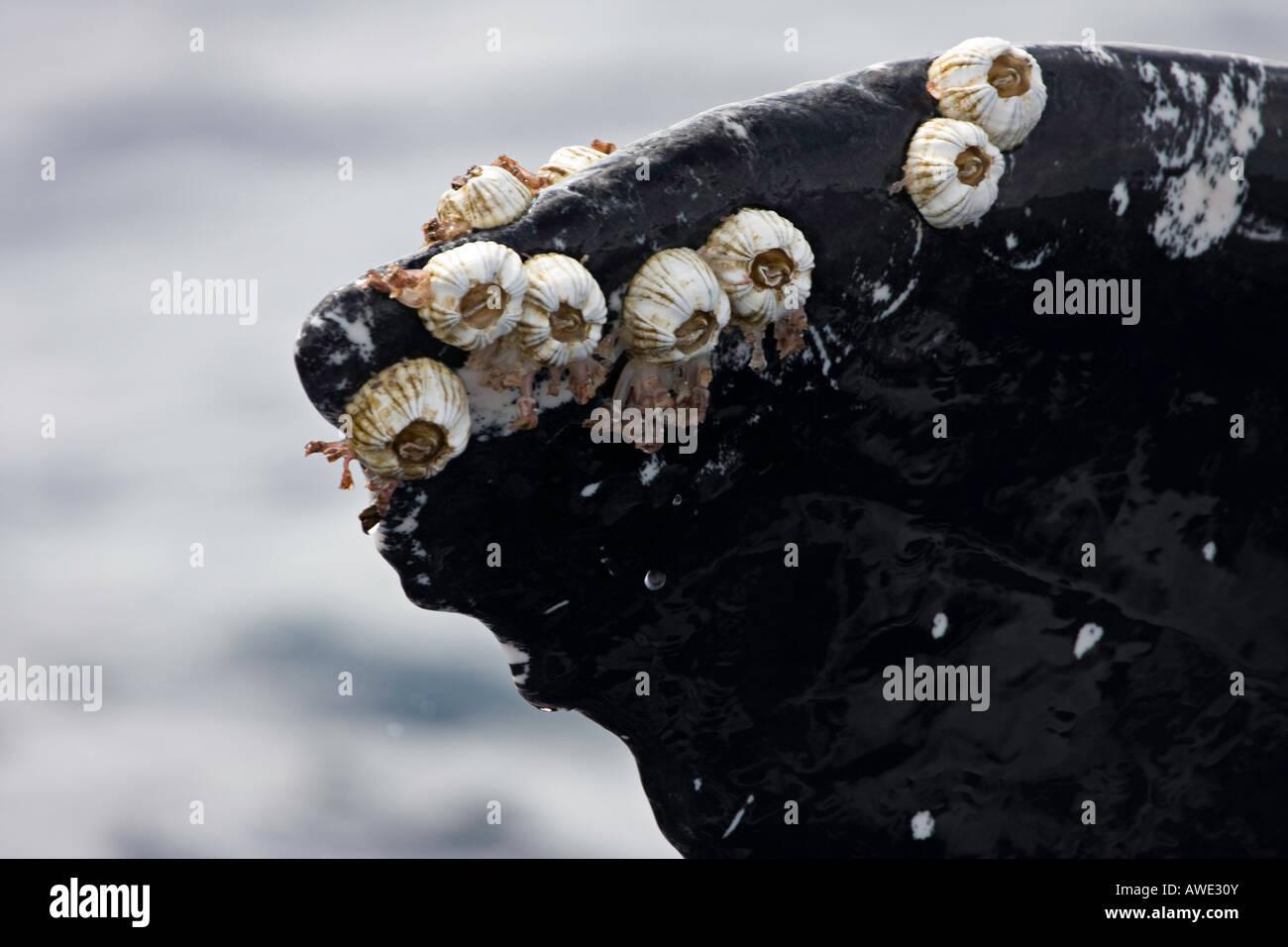 Les balanes Acorn et col de cygne d'anatifes attaché à une queue de baleine à bosse, Megaptera novaeangliae, New York. Banque D'Images