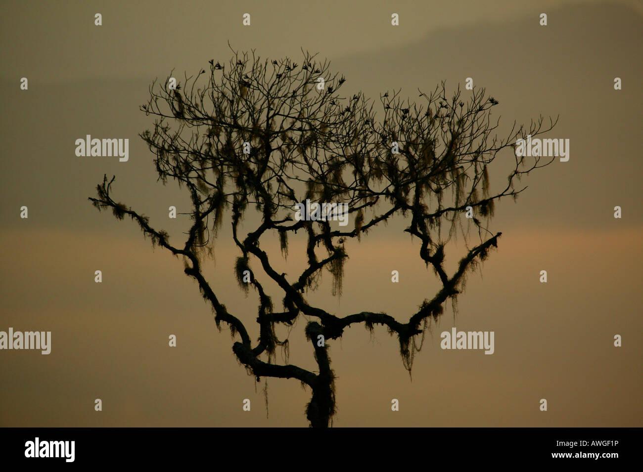 Arbre et paysages brumeux à Cerro Pirre de Darien national park, province de Darién, République du Panama. Banque D'Images