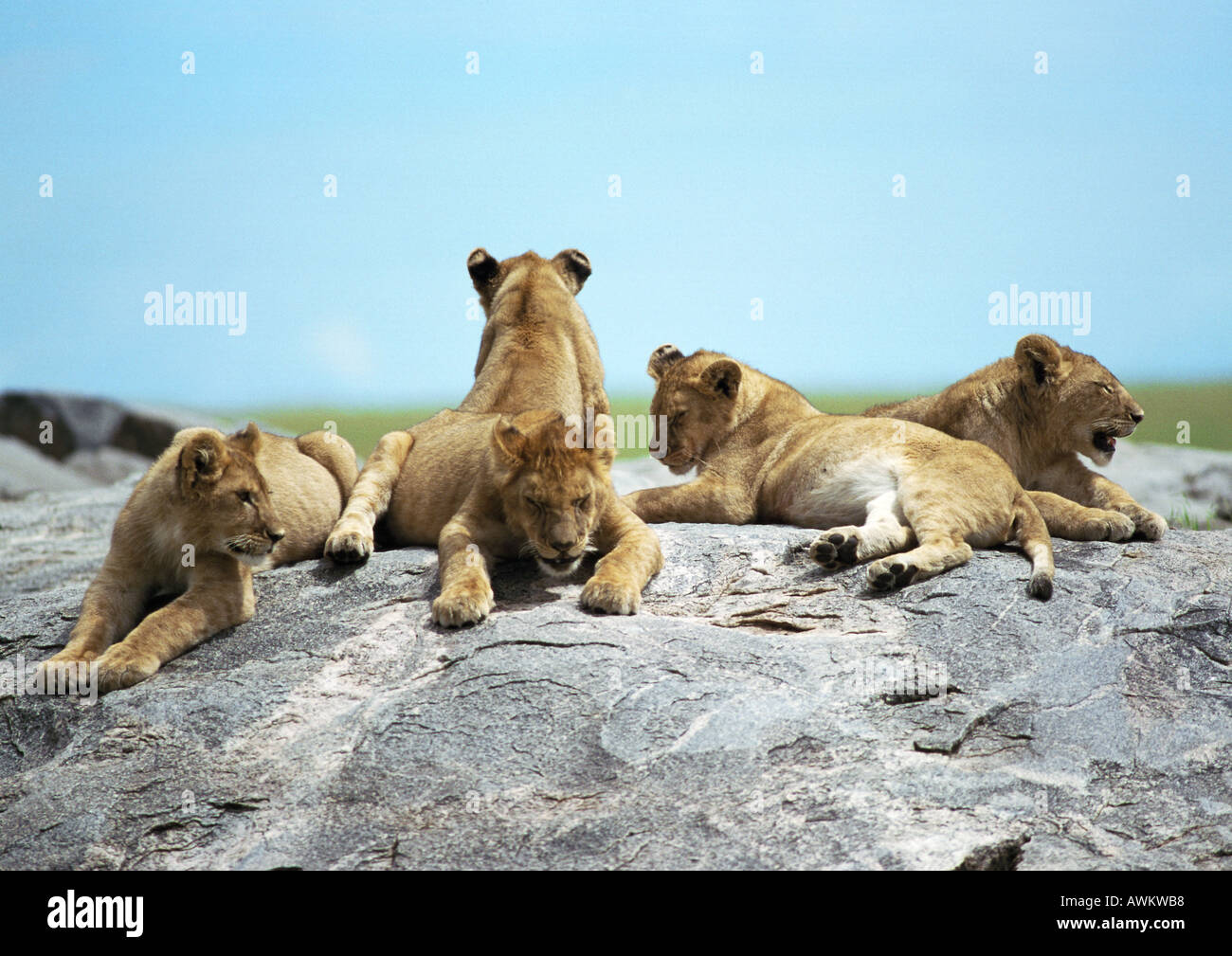 Lion cubs (Panthera leo) lying on rock Photo Stock