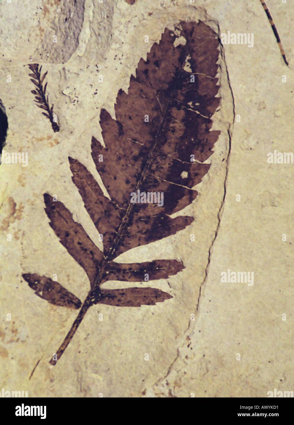 Feuille d'aubépine chinoise fossiles de l'Éocène du littoral au Boot Hill, Pierre Rose, Washington State, USA Photo Stock