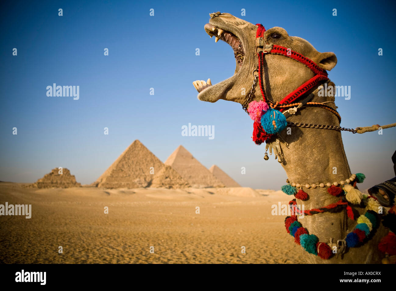Camel au Pyramids, Giza, Le Caire, Egypte Photo Stock