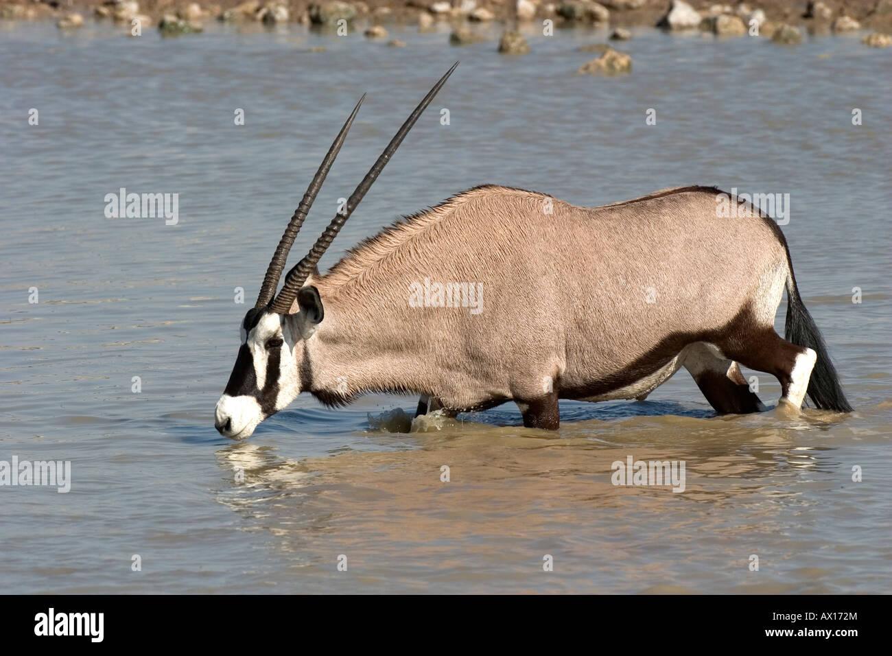 Ou Gemsbuck gemsbok (Oryx gazella) à un étang dans le parc national d'Etosha, Namibie, Afrique Photo Stock