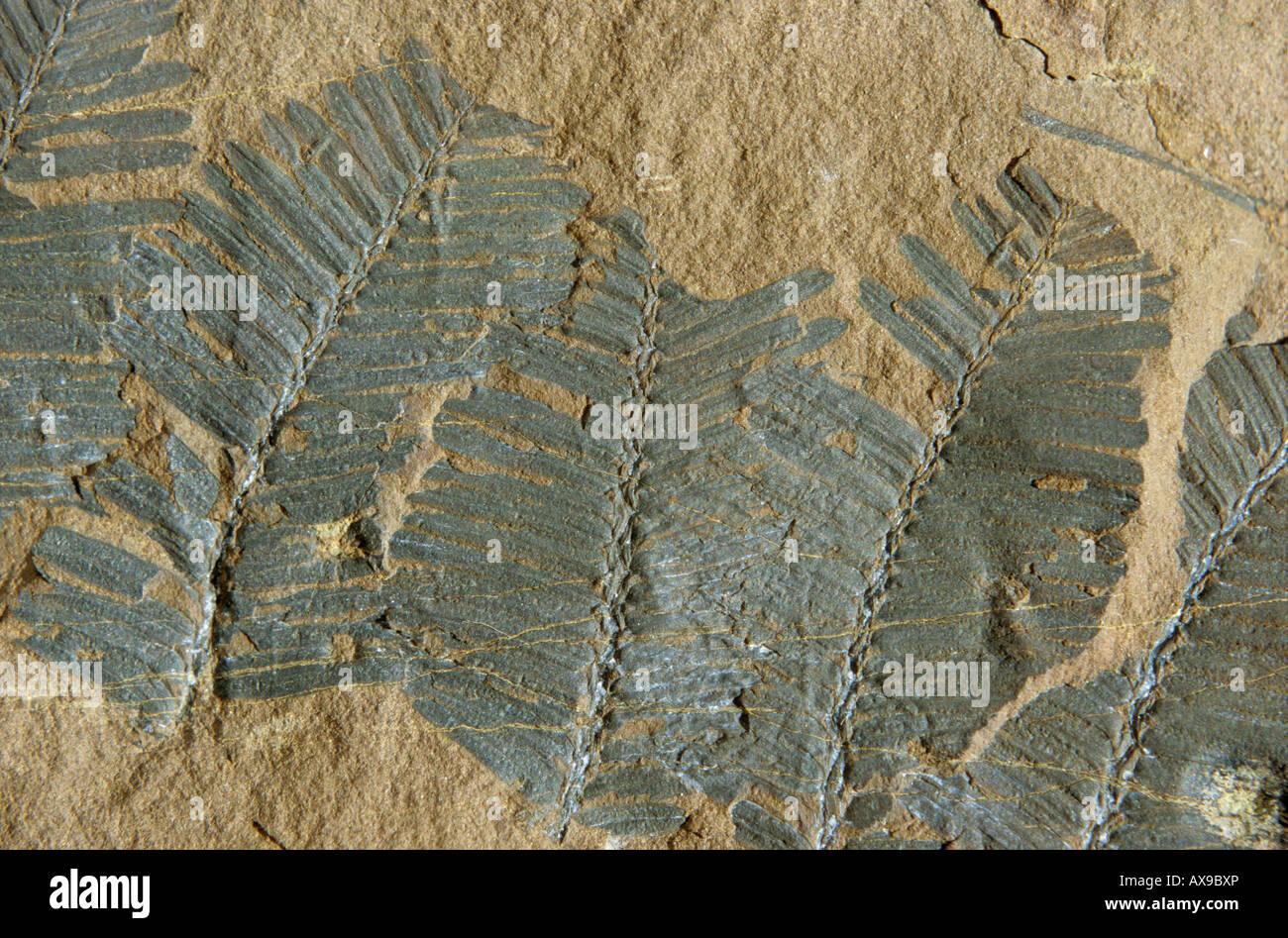 Close up of Metasequoia fossiles végétaux Bulkley River en Colombie-Britannique Photo Stock