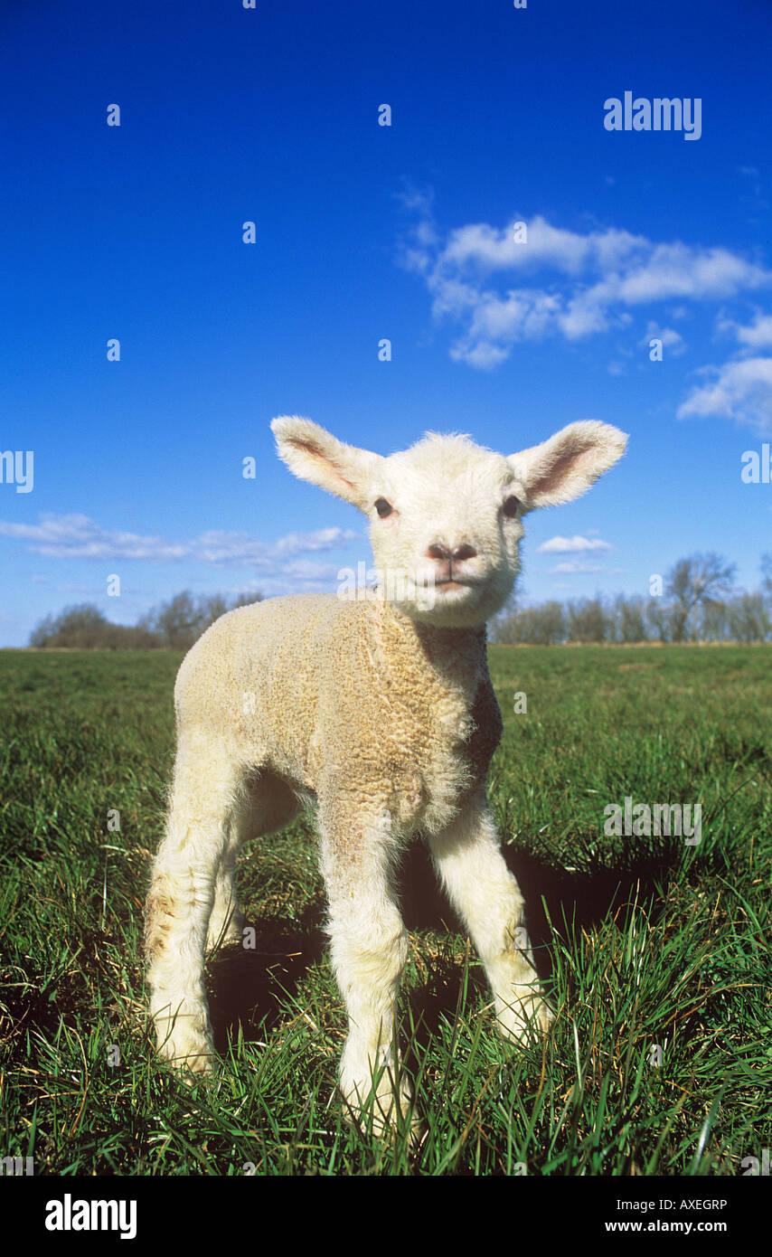 Les moutons domestiques. Seul l'agneau debout sur un pré Photo Stock
