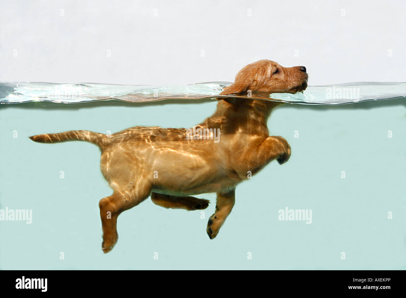 Labrador Retriever. Piscine de chiot dans un aquarium Photo Stock