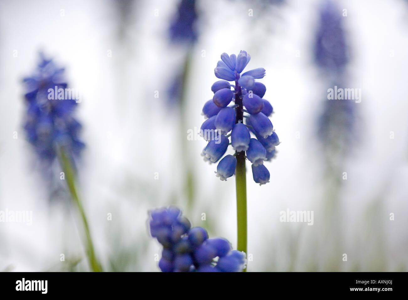 Grape hyacinth Muscari armeniacum, poussant dans la neige Photo Stock