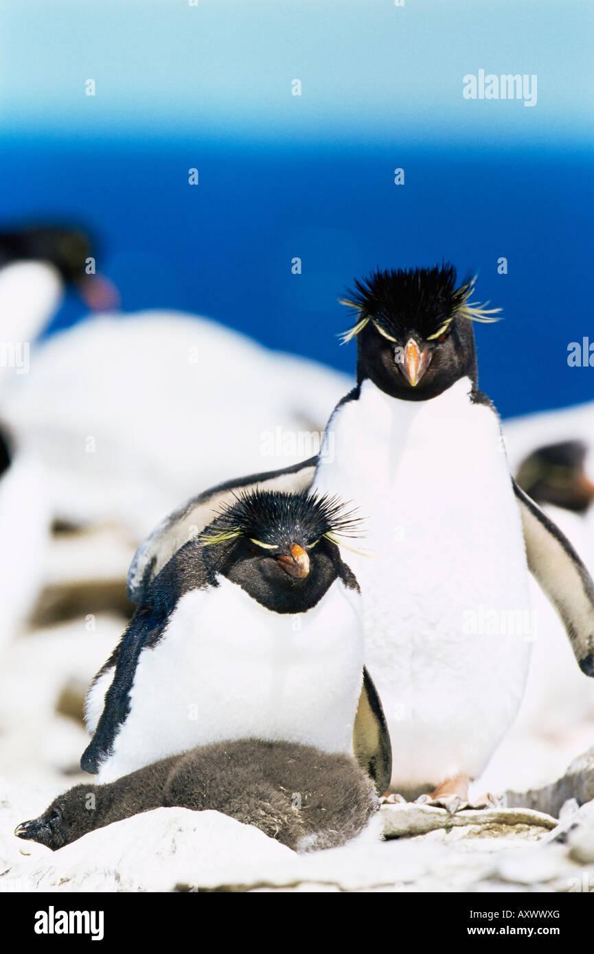 Famille des gorfous sauteurs (Eudyptes chrysocome chrysocome), de l'île de Sea Lion, Îles Falkland, Photo Stock