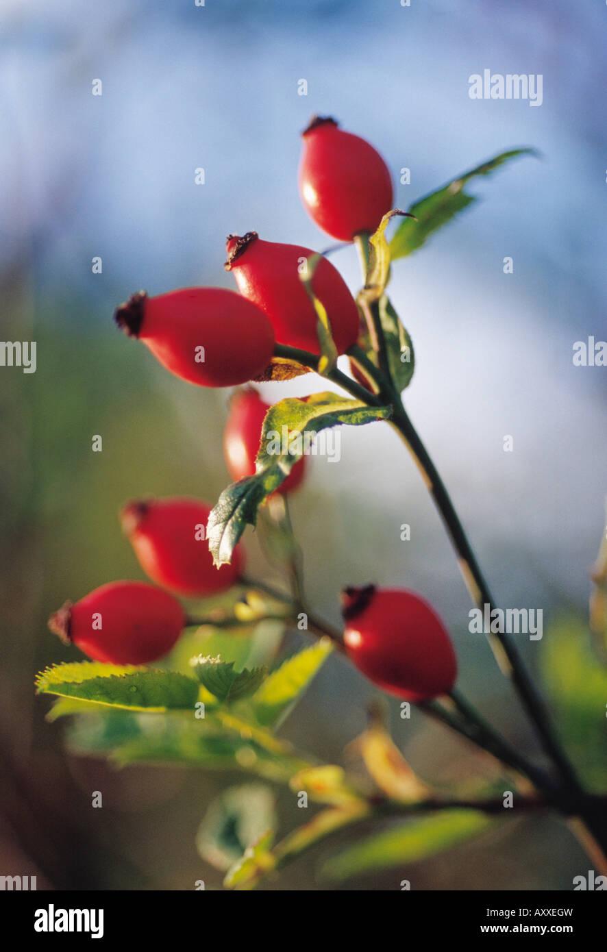 De Rose Musquee Rosa Canina Dog Rose Fruits Rouges Poussant Sur