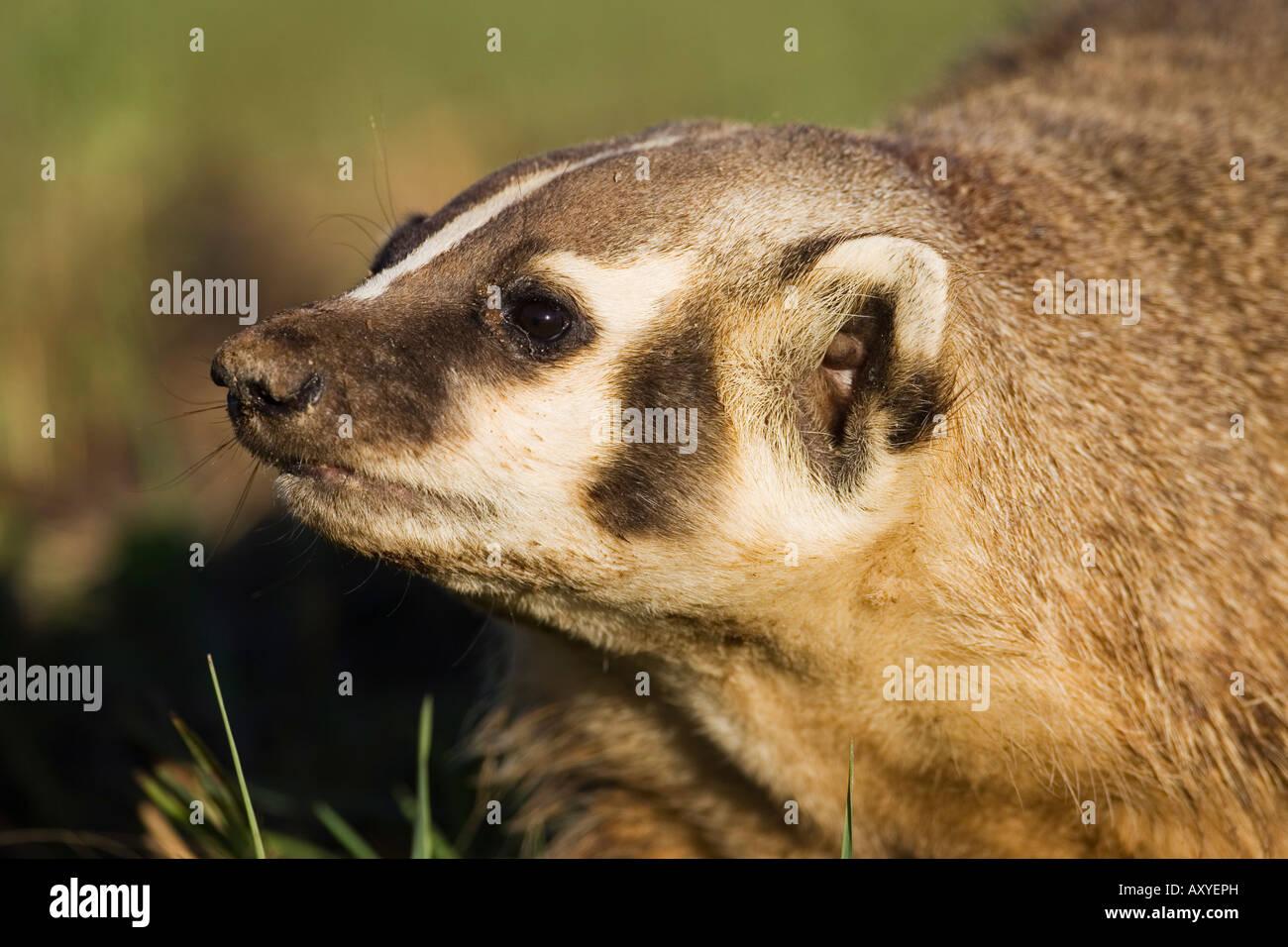 Blaireau (Taxidea taxus), en captivité, du Minnesota, de grès, de connexion de la faune au Minnesota, Photo Stock