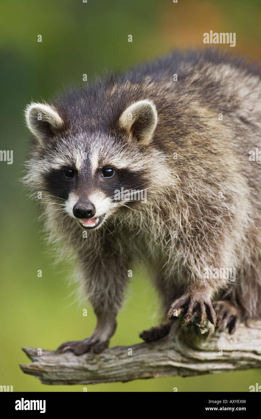 Le raton laveur (racoon) (Procyon lotor), en captivité, du Minnesota, de grès, de connexion de la faune Photo Stock